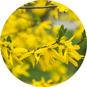 Fructus Forsythiae  <p > Inhibits bacterial activity, regulate body temperature, excretes toxins from the body</p>